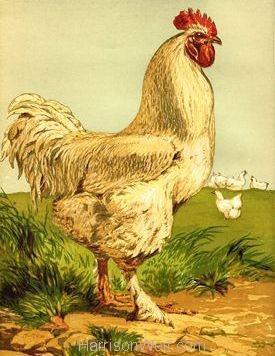 1867 White Cochin Cock by Harrison Weir
