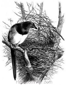 c1868 Magpie and Nest by Harrison Weir