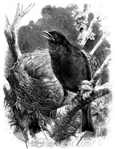 1868 Blackbird and Nest by Harrison Weir