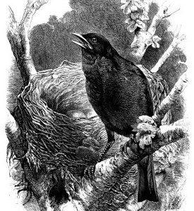 1868 Blackbird and Nest by Harrison Weir