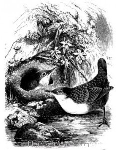1868 Dippers and Nest by Harrison Weir