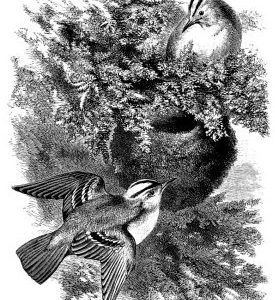 1868 Golden-Crested Wrens and Nest by Harrison Weir