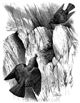1868 Jackdaws and Nestlings by Harrison Weir