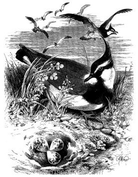 1868 Peewits and Nest by Harrison Weir
