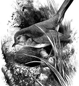 1868 Robin and Nest by Harrison Weir