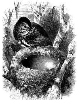 1868 Song Thrush and Nest by Harrison Weir