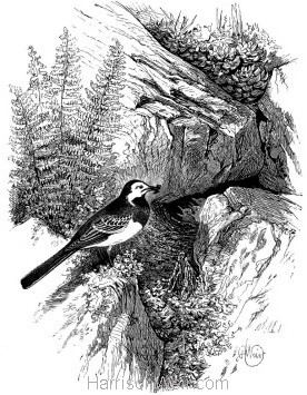 1868 Wagtail and Nest