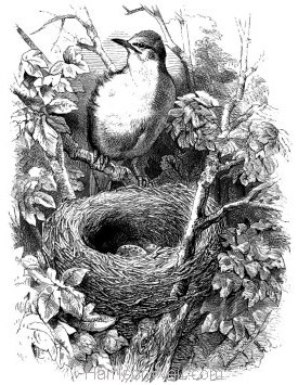 1868 White-Throat and Nest by Harrison Weir