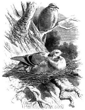 1868 Wood Pigeons and Nest by Harrison Weir