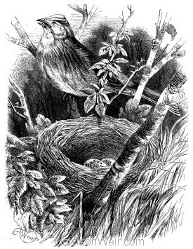 1868 Yellow-Hammer and Nest by Harrison Weir