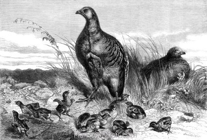 1869 A Brood of Partridges by Harrison Weir