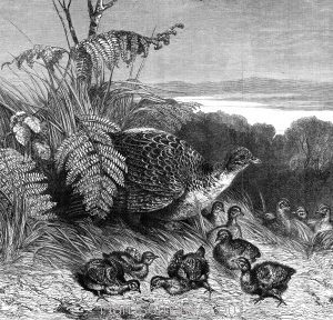 1869 Hen Pheasant and Young by Harrison Weir