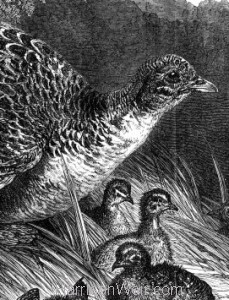Detail:  Hen Pheasant and Young, by Harrison Weir