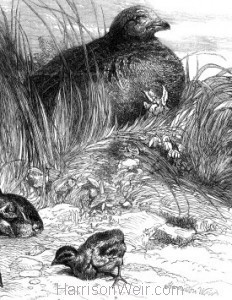 Detail: A Brood of Partridges by Harrison Weir