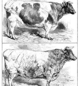 1869 Smithfield Prize Cattle by Harrison Weir