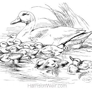 1870 Duck & Ducklings by Harrison Weir
