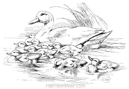 1870 Duck & Ducklings by Harrison Weir