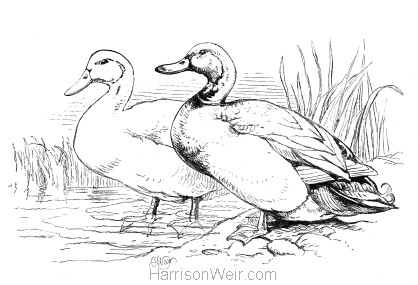 1870 Ducks, by Harrison Weir