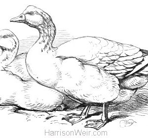 1870 Geese, by Harrison Weir