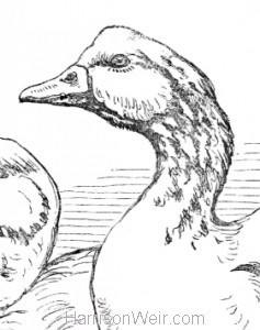 Detail: Geese, by Harrison Weir