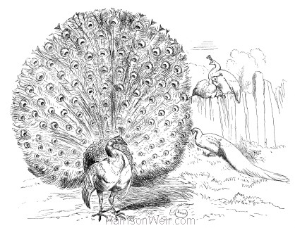 1870 Peacock & Peahens by Harrison Weir