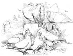 1870 Pigeons, by Harrison Weir
