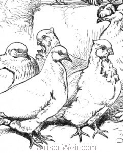 Detail: Pigeons, by Harrison Weir