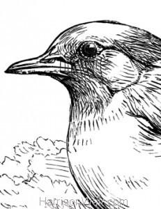 Detail: Blackbird by Harrison Weir