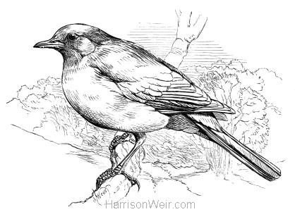 1870 Blackbird, by Harrison Weir