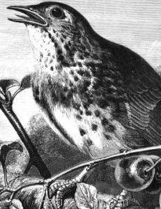 Detail: 1870 Thrush In Song by Harrison Weir