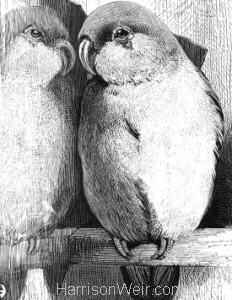 Detail: 1868 Lovebird and Mirror by Harrison Weir