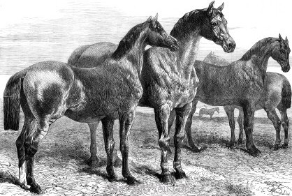 1870 Prize Horses at the Agricultural Hall, Islington. By Harrison Weir