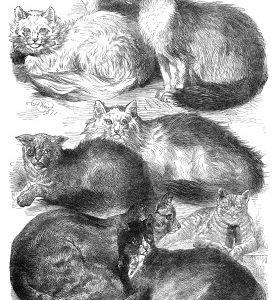 1871 (July) Crystal Palace Cat Show Prize Cats by Harrison Weir