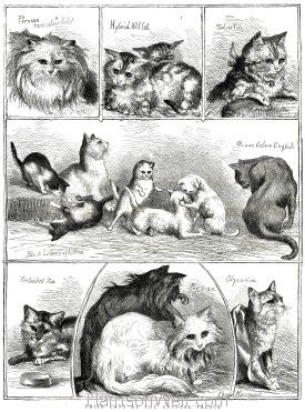 1871 (Dec) Crystal Palace Cat Show Prize Cats by Percy MacQuoid
