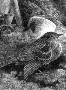Detail: Little Robin, safely housed. by Harrison Weir
