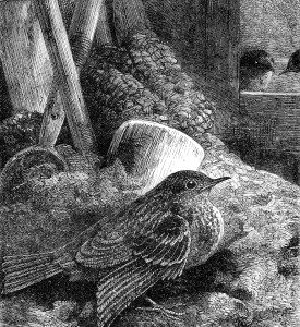 1871 Little Robin safely housed, by Harrison Weir