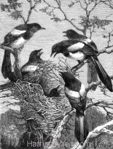 1871 The Magpies and their Nest, by Harrison Weir