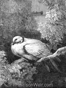 1871 The Unhappy Dove by Harrison Weir