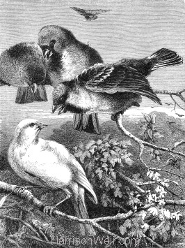 1871 The Persecuted Canary, by Harrison Weir