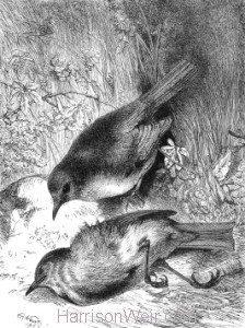 1871 Death of Robins mate, by Harrison Weir