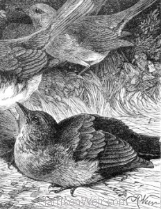 Detail: The Greedy Young Robin, by Harrison Weir