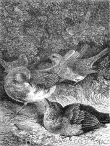 1871 The Greedy Young Robin, by Harrison Weir