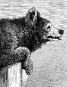 Detail: 1872 Jack The Bear by Harrison Weir