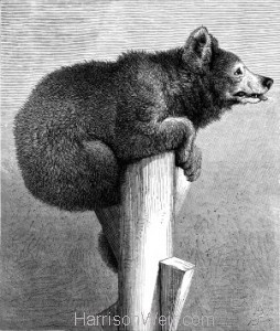 1872  Jack The Bear -full width image by Harrison Weir