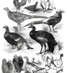 1872 Game Birds & Bantams at the Crystal Palace by Harrison Weir