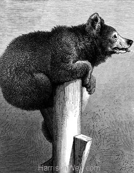 1872 Jack The Bear by Harrison Weir