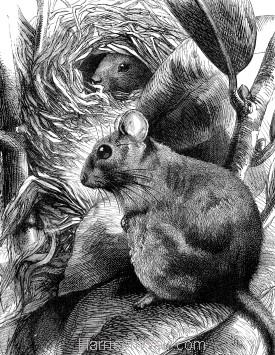 Detail: Dormouse and Nest, by Harrison Weir