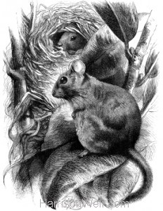 1871 Dormouse and Nest, by Harrison Weir