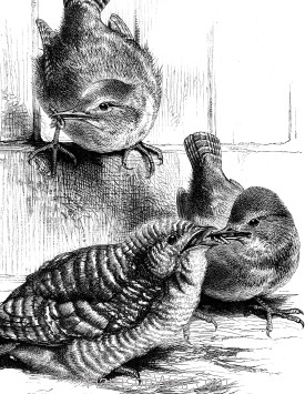 Detail: A Young Cuckoo fed by Wrens, by Harrison Weir