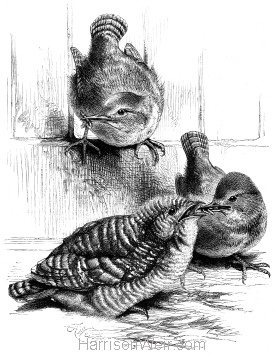 1872 A Young Cuckoo fed by Wrens, by Harrison Weir